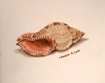 Shell Study: Murex